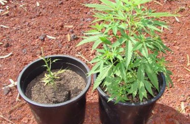 Viterbo, trentunenne coltivava marijuana in casa: arrestato