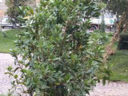 alberocomune