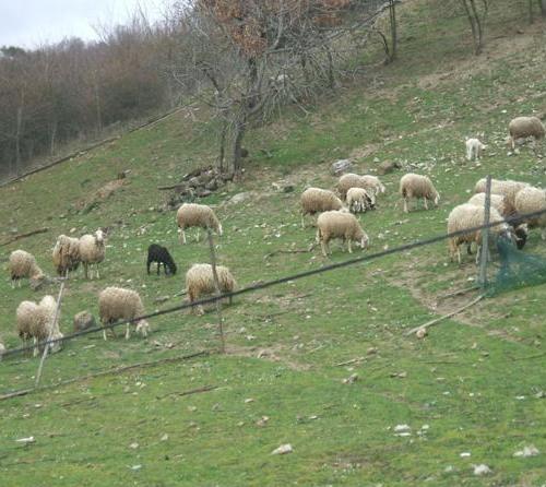 """Viterbo, Provincia, """"dava fastidio"""" (sevizie) alle pecore di un allevatore vicino, arrestato agricoltore, nella sua casa a Bagnoregio serra di canapa indiana"""